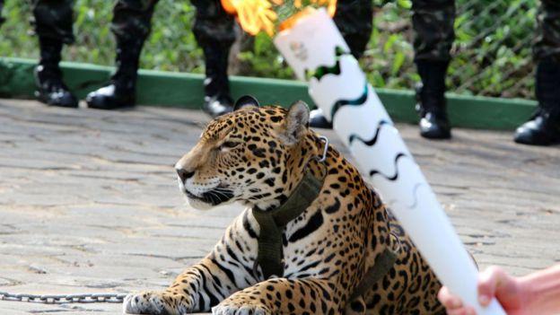 Un jaguar que participaba en una ceremonia con la antorcha olímpica en Manaos se escapó y tuvo que ser sacrificado.