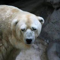 Controversia en Argentina por muerte de Arturo, el último oso polar del país