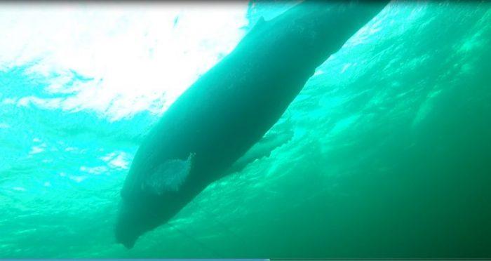 [VIDEO] Liberan a ballena de 25 metros atrapada en redes de pesca