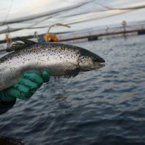 [VIDEO] Antibióticos de salmones podrían generar superbacterias en Chile