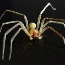 Neurocientíficos desentrañan los misterios del segundo agente de riesgo biológico en Chile: la araña de rincón