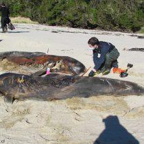 Codeffcritica la indiferencia de científicos y autoridades ante muerte de cientos de ballenas en Chile