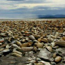 Comisión científica determinó que el vertimiento de salmones en la zona de Chiloé