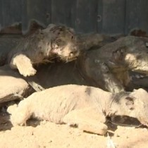 [VIDEO] Tigres hambrientos y animales disecados, así era uno de los zoológicos más deprimentes del mundo