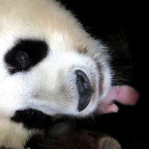 Quitan al panda de lista de animales en peligro de extinción