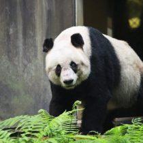Muere Jia Jia, el ejemplar de oso panda más longevo del mundo