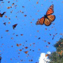 El sobrecogedor espectáculo de la mariposa monarca en México