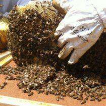 Al rescate de las abejas en la Región de O'Higgins
