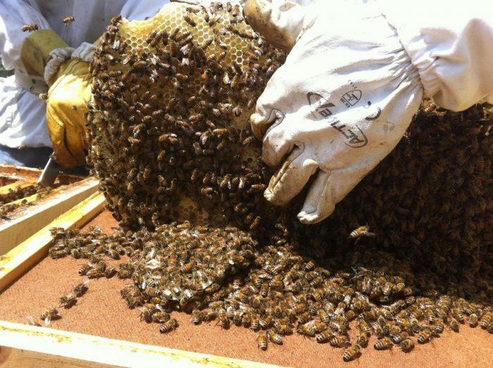 Científicos de la U. de Chile detectan presencia de pesticidas en miel de abejas