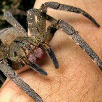 La comprensión del dolor a partir de una toxina de araña