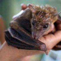 Científicos develan secretos de las conversaciones entre murciélagos
