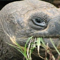 Censo revela recuperación de población de tortugas gigantes en isla de las Galápagos