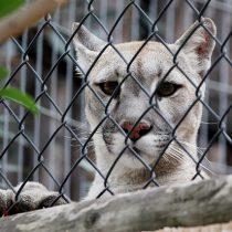 Chile se suma a la tendencia mundial de transformar zoológicos en bioparques