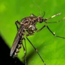 Qué es la fiebre de oropouche, la enfermedad parecida al zika que amenaza con propagarse por América del Sur