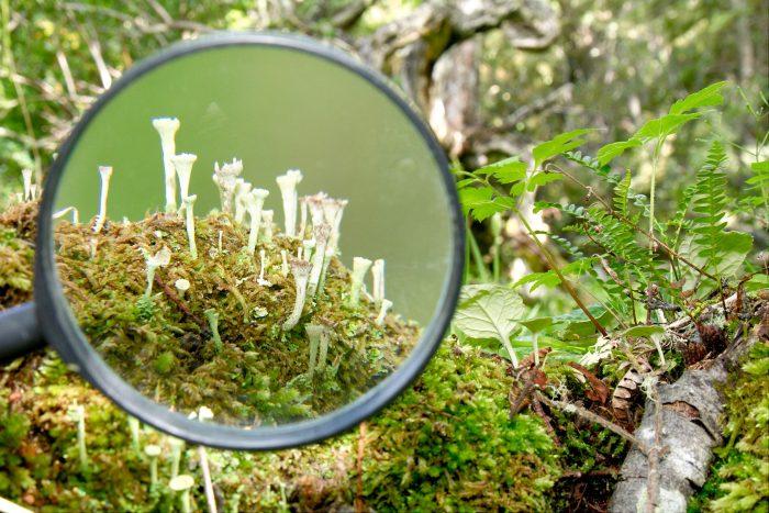 Tourism through a hand lens.  Cladonia lichen in Omora Park.