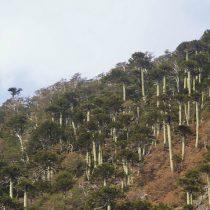 Estudio revela que araucarias están muriendo de hambre por cambio climático