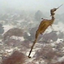 [VIDEO] El misterioso dragón marino rojo filmado por primera vez en las profundidades del océano