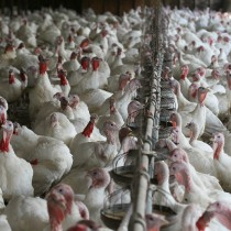 Exportaciones avícolas chilenas en caída libre tras detección de influenza aviar en Nogales