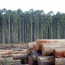 Plantaciones forestales: solo uno de los factores en la tormenta perfecta que incide en los incendios que tienen al país en llamas