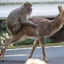 El curioso encuentro sexual entre un macaco japonés y un ciervo