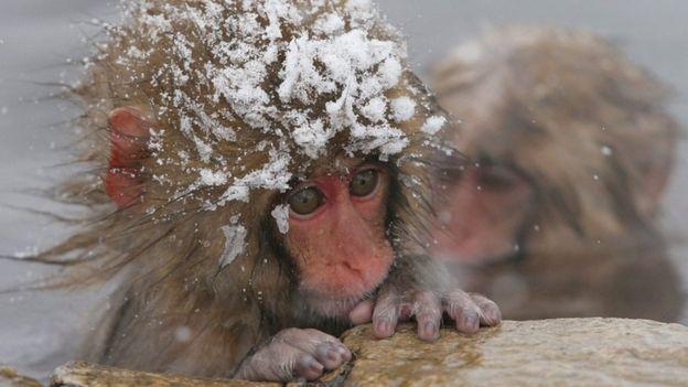Los macacos japoneses suelen bañarse en aguas termales, durante los gélidos inviernos de Japón.