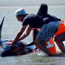 ¿Qué llevó a cientos de ballenas a encontrar la muerte en las costas de Nueva Zelanda?