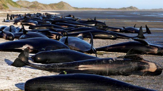 Riesgo de explosión: la monumental tarea de despejar una playa de Nueva Zelanda de cientos de ballenas muertas