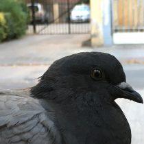Y a ti ¿te gustan las palomas?