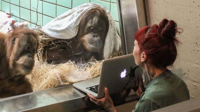 Tinder para orangutanes, la herramienta experimental para aumentar el apareamiento en cautiverio