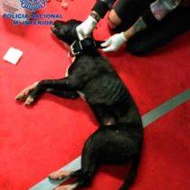 [VIDEO] El operativo de rescate de 230 perros usados para peleas clandestinas en España
