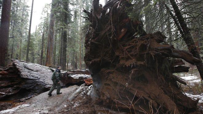 Cómo los árboles muertos se han convertido en un negocio millonario en California