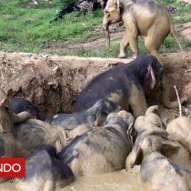 [VIDEO] El angustiante rescate de una manada de elefantes que se hundía en un pantano