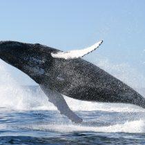 El avistamiento recreativo de las ballenas podría ayudar a su preservación
