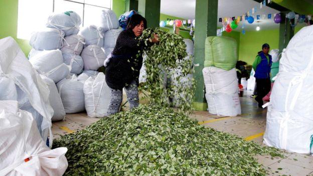 Evo Morales firma polémica ley que duplica el área legal de cultivo de coca en Bolivia