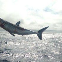 Heridos pero a salvo: liberan a cuatro tiburones atrapados ilegalmente frente a la región de Atacama