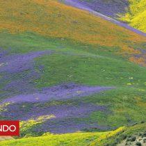 [VIDEO] El inmenso manto de flores que apareció en California tras años de sequía (y que se ve incluso desde el espacio)