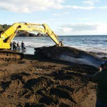 Armada entierra ballena de 10 toneladas que varó en la bahía de Lota