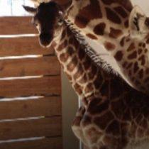 [VIDEO] El emocionante parto de April, la jirafa embarazada del zoológico de Nueva York