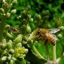 Disminución de abejas amenaza con sacar de la mesa a la palta, la naranja y la cebolla