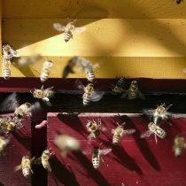 Buscan combatir infecciones frecuentes en personas con bacterias de abejas