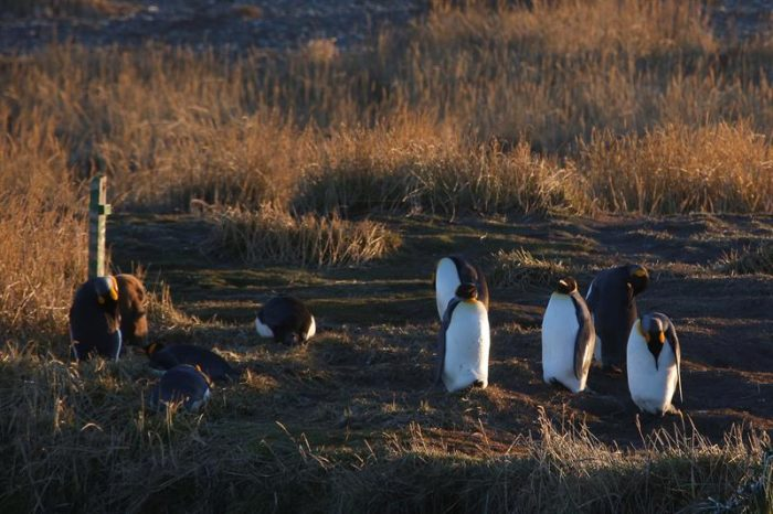 Tierra del Fuego, donde el pingüino es el rey