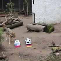 """[VIDEO] El lobo """"Zabivaka"""" de Buin Zoo anuncia un ajustado empate de Chile contra Alemania"""