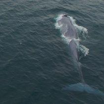 [VIDEO] Patrullera naval avista ballena de 15 metros frente a Chonchi