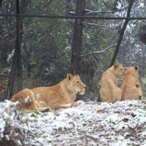 [VIDEO] No solo los santiaguinos: Animales del Buin Zoo también disfrutan de la nieve caída en la zona central