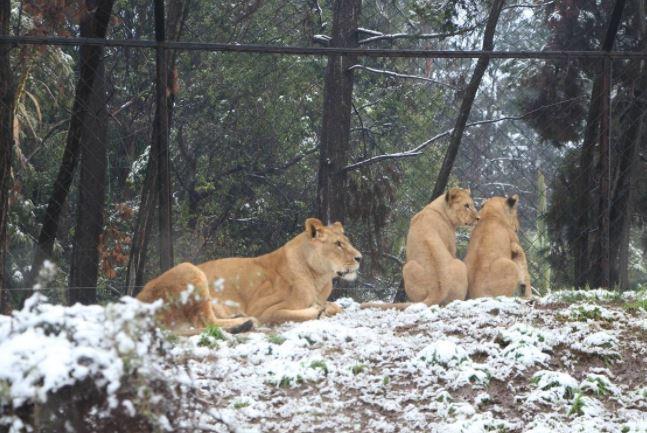 Buin Zoo inicia campaña para recaudar fondos tras 100 días cerrado