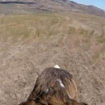 [VIDEO C+C] Cámara sobre el lomo de un águila registra su vuelo a 300 km por hora