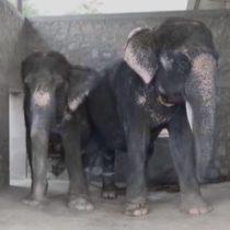 [VIDEO] Maltrato físico, el día a día de los elefantes usados para el turismo en Asia