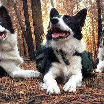 Das, Olivia y Summer, las tres increíbles perras que están reforestando los bosques arrasados por los incendios en Chile