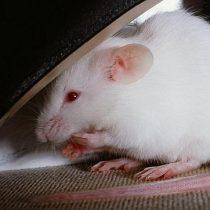 [VIDEO] Las imágenes que muestran con increíble precisión cómo se expande el cáncer en el cuerpo de un ratón