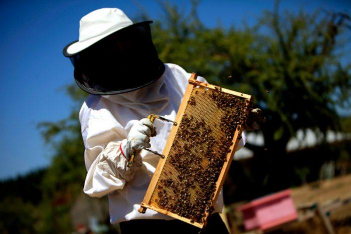 Masiva muerte de abejas moviliza a apicultores contra actual Ley Apícola